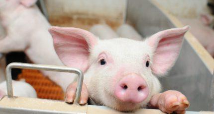 Производство свиней за январь-апрель 2021 года увеличилось на 2,1%