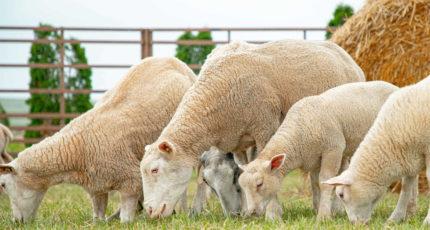 В Минсельхозе обсудили развитие подотрасли овцеводства и козоводства