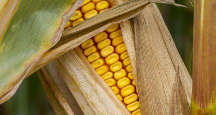 Позднее увядание кукурузы возможно контролировать через микрофлору растения