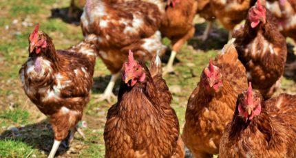 «Русское поле» хочет увеличить производство мяса птицы с помощью фермеров