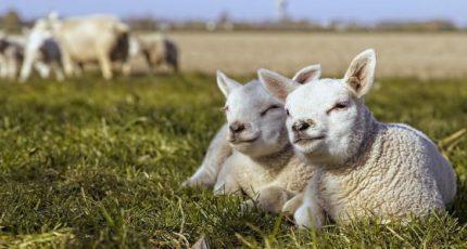 Израиль планирует закупать мелкий рогатый скот в России