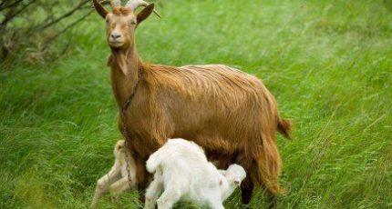 В Новгородской области создадут ферму на 50 тысяч коз