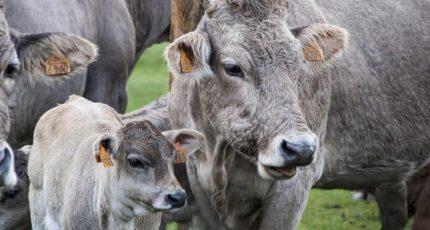 Соевое масло с кальцием как способ обогащения рациона коров жирными кислотами омега-6