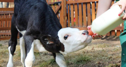 Выпойка телят молозивом: оставлять телят с коровами?