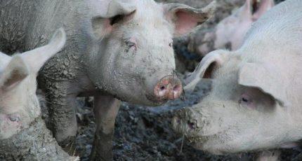За изобретение душа для свиней немецкий фермер получил 10 000 евро