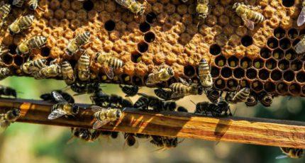 Энтеробактериоз пчел и правила диагностики