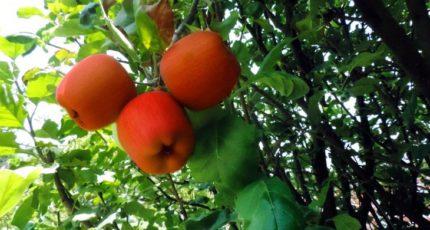 Куда девать дачнику излишки яблок: 5 простых способов правильного использования опавших плодов