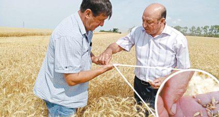 Нижнедевицкий район: Жара «украла» урожай