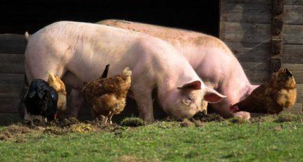 Как часто надо кормить свиней в домашнем хозяйстве