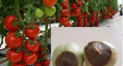 Вершинная гниль томатов уже вовсю досаждает огородникам