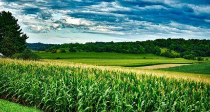 Природа очистилась и серу для питания кукурузы придется добавлять каждый год