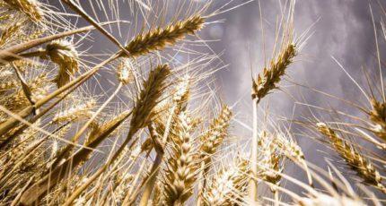 Сможет ли Россия выращивать больше зерна из-за изменения климата