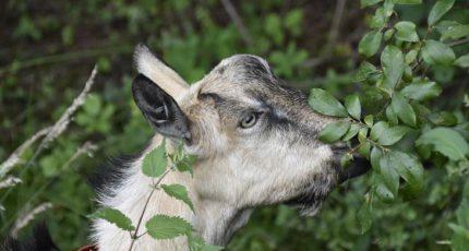 Кормление коз листвой: дешево, практично и полезно