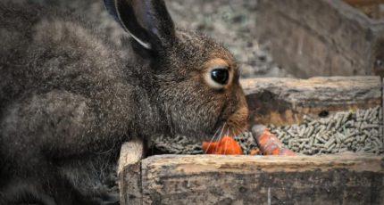 Хитрости быстрого откорма кроликов осенью