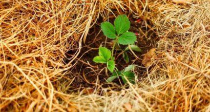 Как подготовить клубнику к зиме – 5 полезных заметок о мульчировании соломой