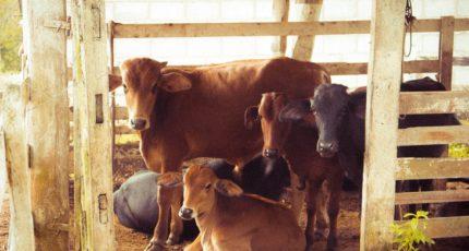 Добавление в рацион витамина D может улучшить иммунитет коров
