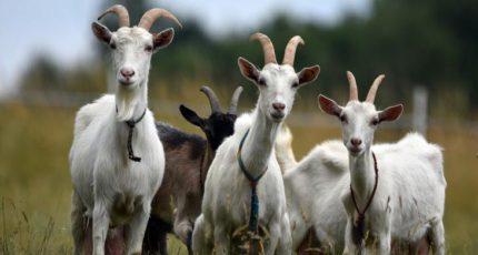 Мастит у коз: причины и важность диагностики