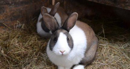 Саркоптоз у кроликов: ивермектин плюс куркума