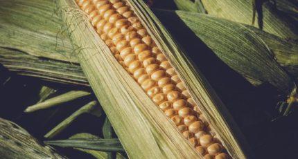 Тамбовская область заявила о рекордном урожае кукурузы 2021