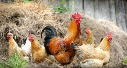 Можно ли вырастить курицу без единого зерна на компостных кучах