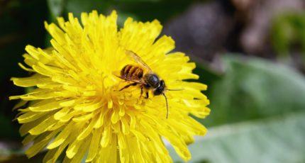 Ученые: монокультурные посевы сокращают численность пчел