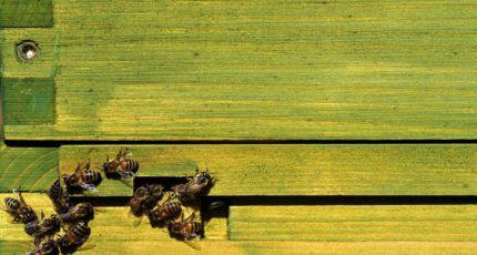 Российских пчеловодов средней полосы предупредили о повышенном риске варроатоза