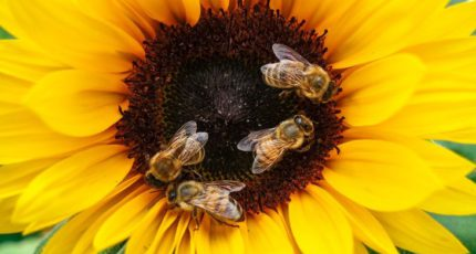 Совет по авторизации СЗР и биоцидов в Нидерландах не счел глифосат опасным для пчел