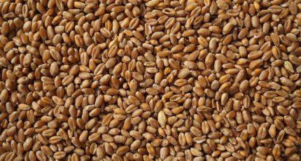 Минсельхоз России с 2022 года запускает систему прослеживаемости зерна